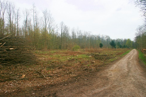Beispiel für eine Forstmaßnahme: Entnahme kranker Bäume